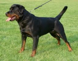Satılık Rottweiler Bursa