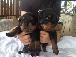 Satılık Rottweiler Karabük