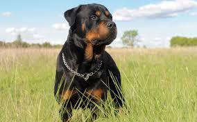 Satılık Rottweiler Bartın