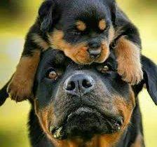Satılık Rottweiler Muğla