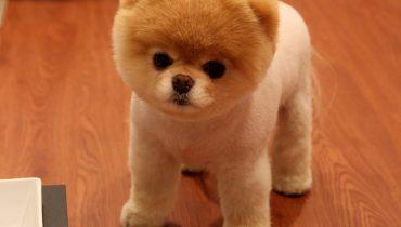 Satılık Pomeranian Boo