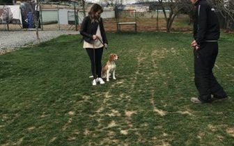 Beagle Köpek Eğitimi Nasıl Verilir