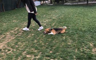 PresaCanario Köpek Eğitimi