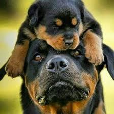 Satılık Rottweiler Dişi