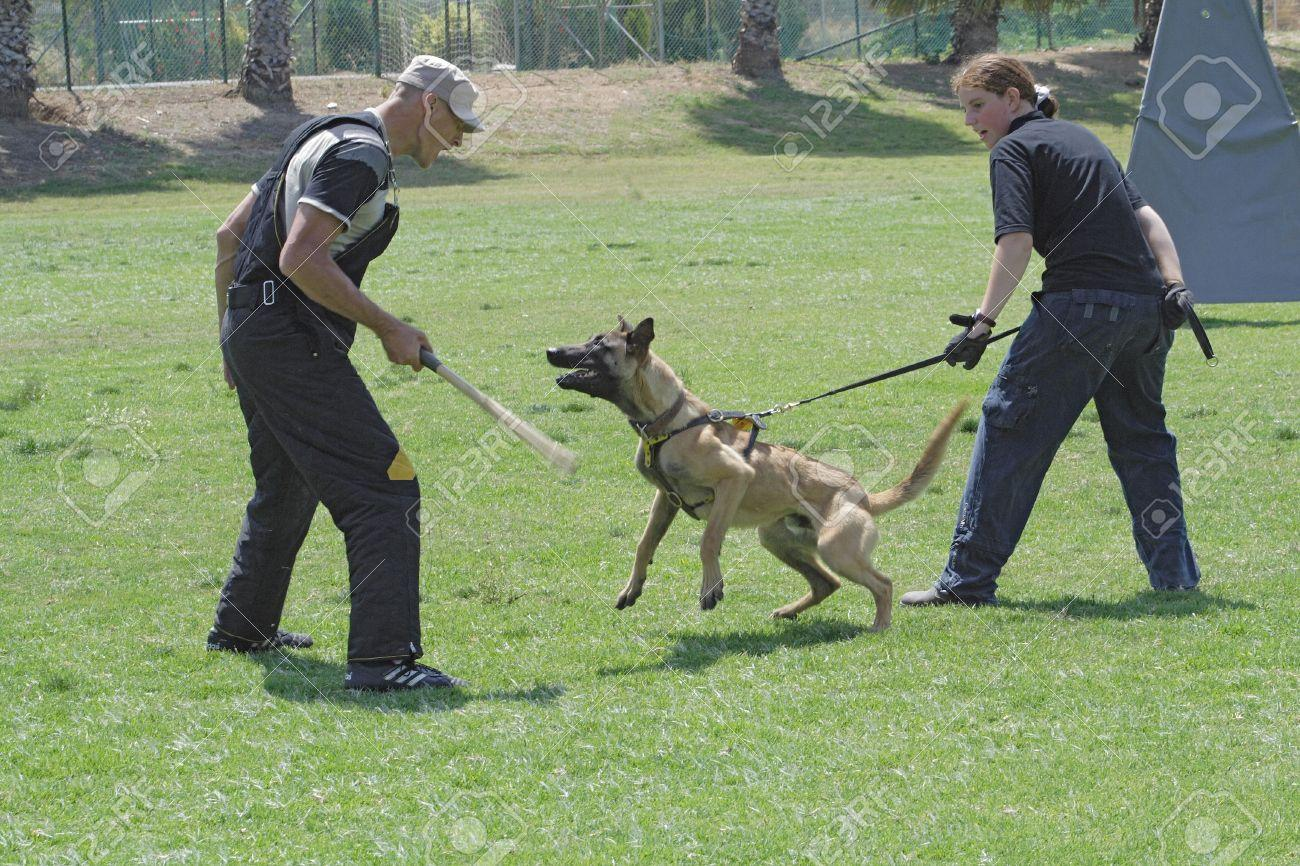 19009873-dog-training-school-belgian-malinois-in-the-attack-stock-photo