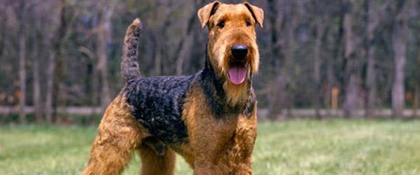 airedale-terrier-cinsi-kopek-4